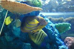 cesarz angelfish Obraz Stock