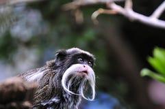 Cesarz długouszki małpy dopatrywanie coś Obraz Stock