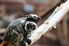 Cesarz długouszki małpy obsiadanie na gałęziastym i patrzeć coś Obraz Royalty Free