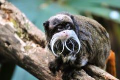 Cesarz długouszki małpy obsiadanie na gałęziastym i patrzeje somethin Fotografia Royalty Free