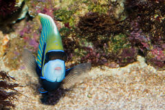 Cesarza Angelfish Obraz Royalty Free