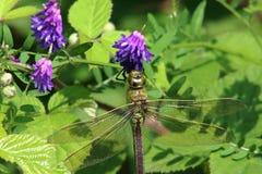 Cesarza Dragonfly Obraz Royalty Free