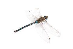 Cesarza Dragonfly Fotografia Royalty Free