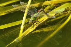 Cesarza Dragonfly na płochach Zdjęcie Stock