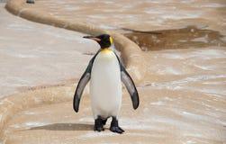 Cesarza pingwin Zdjęcie Royalty Free