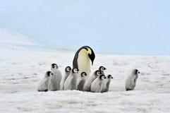 Cesarza Pingwin Obrazy Royalty Free