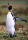 cesarza pingwin Obraz Royalty Free