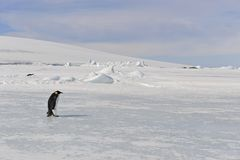 Cesarza pingwin na śniegu Fotografia Stock