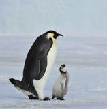 Cesarza pingwin Z kurczątkiem Obrazy Stock