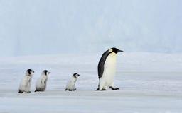 Cesarza pingwin Z kurczątkiem Obraz Stock