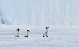 Cesarza pingwin Z kurczątkiem Zdjęcia Stock
