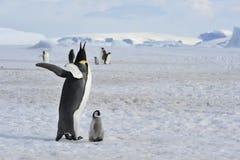 Cesarza pingwin Z kurczątkiem Fotografia Royalty Free