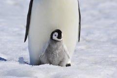 Cesarza pingwin Z kurczątkiem Fotografia Stock