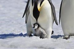Cesarza pingwin Z kurczątkiem Zdjęcie Stock