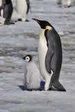 Cesarza pingwin Z kurczątkiem Zdjęcia Royalty Free