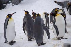 Cesarza pingwinu królewiątko pingwinów gatunki zdjęcia royalty free