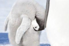 Cesarza pingwinu kurczątko Obraz Royalty Free