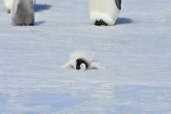 Cesarza pingwinu kurczątko Obrazy Royalty Free