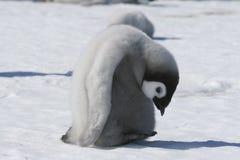 cesarza pisklęcy pingwin Fotografia Royalty Free