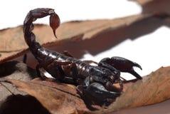 Cesarza skorpion nad wysuszonymi liśćmi obraz stock
