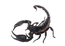 Cesarza skorpion, Pandinus imperator, obraz stock
