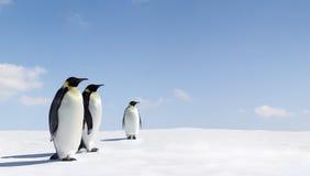 cesarzów pingwiny Obraz Royalty Free