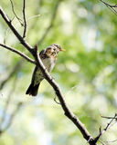 Cesena che si siede su un ramo di albero nella foresta Fotografia Stock