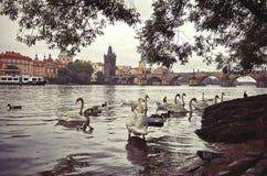 cesky捷克krumlov中世纪老共和国城镇视图 在伏尔塔瓦河河的天鹅在背景查理大桥中 2016年6月17日 图库摄影