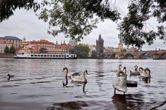 cesky捷克krumlov中世纪老共和国城镇视图 在伏尔塔瓦河河的天鹅在背景查理大桥中 2016年6月17日 库存照片