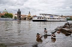 cesky捷克krumlov中世纪老共和国城镇视图 在伏尔塔瓦河河的鸭子在背景查理大桥中 2016年6月17日 免版税库存图片