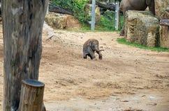 cesky捷克krumlov中世纪老共和国城镇视图 布拉格 布拉格动物园 2009年婴孩被采取的大象照片 2016年6月12日 免版税图库摄影