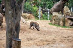 cesky捷克krumlov中世纪老共和国城镇视图 布拉格 布拉格动物园 2009年婴孩被采取的大象照片 2016年6月12日 免版税库存图片