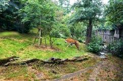 cesky捷克krumlov中世纪老共和国城镇视图 布拉格 布拉格动物园 老虎 2016年6月12日 库存照片