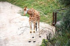 cesky捷克krumlov中世纪老共和国城镇视图 布拉格 布拉格动物园 长颈鹿 2016年6月12日 免版税图库摄影