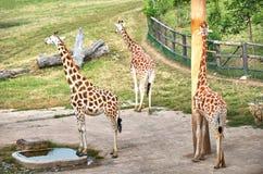 cesky捷克krumlov中世纪老共和国城镇视图 布拉格 布拉格动物园 长颈鹿 2016年6月12日 库存照片