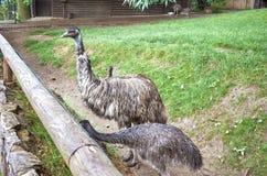 cesky捷克krumlov中世纪老共和国城镇视图 布拉格 布拉格动物园 驼鸟 2016年6月12日 免版税库存照片