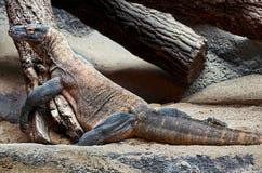 cesky捷克krumlov中世纪老共和国城镇视图 布拉格 布拉格动物园 鬣鳞蜥 2016年6月12日 免版税库存照片