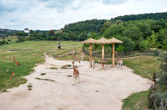 cesky τσεχική πόλης όψη δημοκρατιών krumlov μεσαιωνική παλαιά Πράγα Ζωολογικός κήπος της Πράγας giraffes 12 Ιουνίου 2016 Στοκ φωτογραφία με δικαίωμα ελεύθερης χρήσης