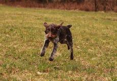 Cesky fousek, den tjeckiska vapenhunden stojar i djurliv Hon har vit och brun päls Tjeckiska pekarehopp och stojar omkring parker arkivbild
