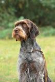 Cesky Fousek dog Stock Photos