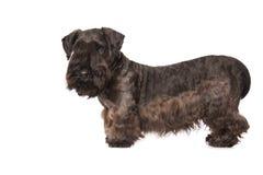 Cesky Terrier Arkivfoto