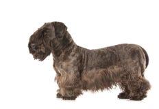 Cesky Terrier Stockfotos