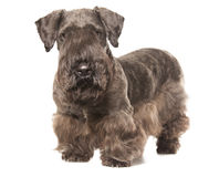 Cesky Terrier Royalty Free Stock Photos