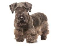 Cesky Terrier Lizenzfreie Stockfotos