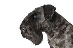 Cesky Terrier Fotografía de archivo libre de regalías