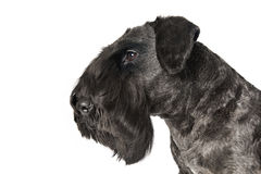 Cesky Terrier Fotografia Royalty Free