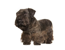 Cesky Terrier Obrazy Royalty Free