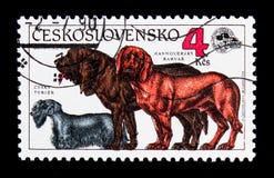 Cesky Terrier, Bloodhound, Hanoverian ogar (Canis lupus familia Obraz Stock