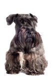 Cesky terrier dog portrait Royalty Free Stock Image