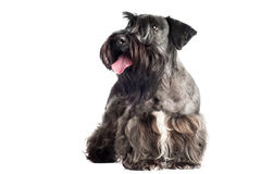 Cesky terrier dog portrait Stock Images